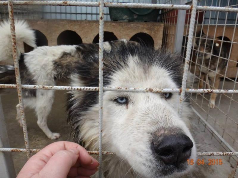 Hector husky (m) 4 ans refuge public de Botosani au nord de la Roumanie.ADOPTE 14646110