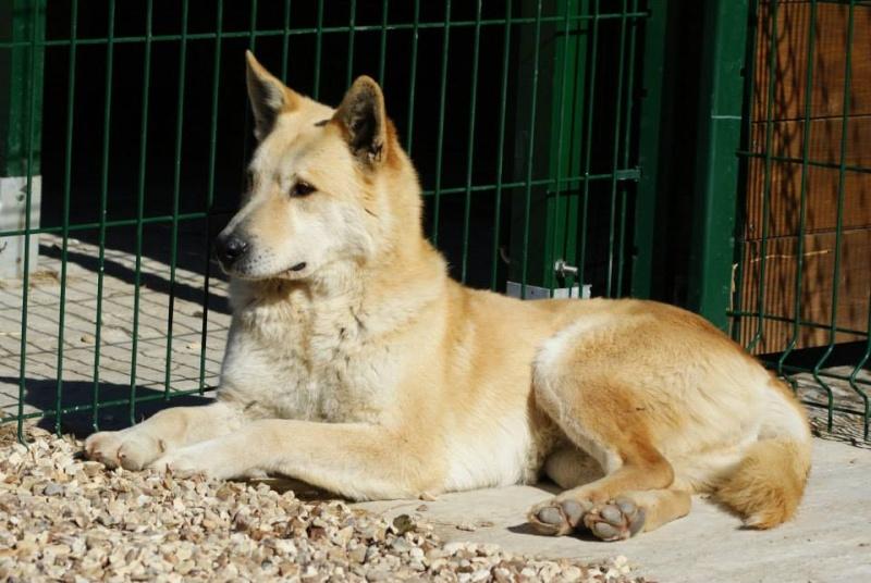 BLONDY, x Husky / Berger, 9 ans, à l'adoption ASSO 28 ADOPTE 15069010