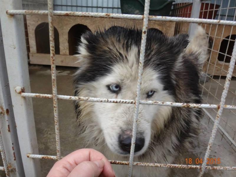 Hector husky (m) 4 ans refuge public de Botosani au nord de la Roumanie.ADOPTE 15099410