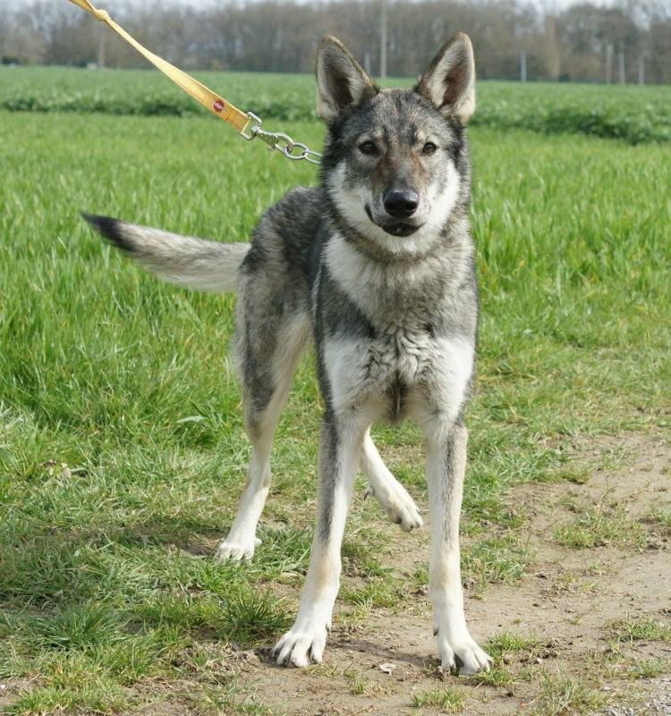 Jet Lin, Chien-loup Tchécoslovaque 9 mois  REFU45   ADOPTEE 15264210