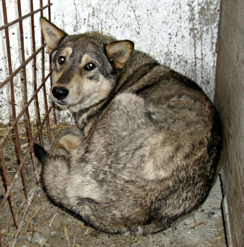 Migou, croisé Husky taille moyenne 2/3 ans. Roumanie  16193210