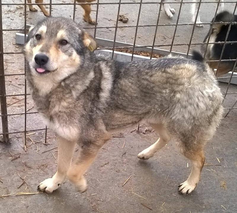Migou, croisé Husky taille moyenne 2/3 ans. Roumanie  20795_10
