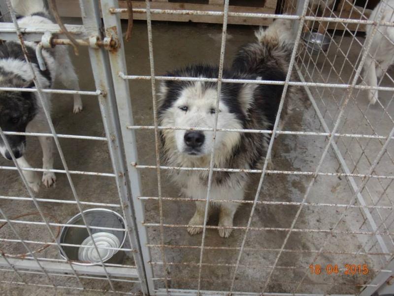 Hector husky (m) 4 ans refuge public de Botosani au nord de la Roumanie.ADOPTE 21744_10