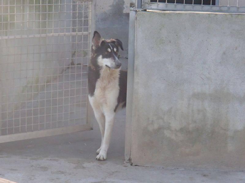Wespa, Husky x Berger 4 ans (f) REFU82 Adopter 96019510