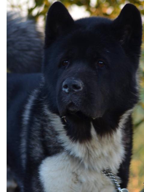 Iron Akita Américain  (m ) 2013   Sympa, affectueux et très obéissant ASSO44 Getdog10