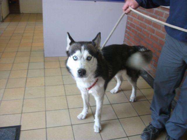 Jacob, Husky (m) 5 ans 1 mois REFU BELGIQUE ADOPTE I1083310