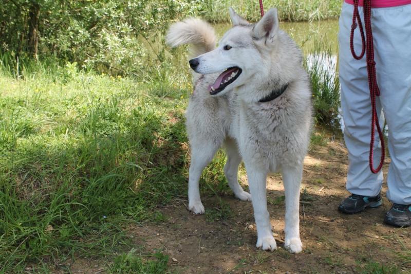 Ixil, Husky sibérien – Né le 26 Avril 2010/ besoin de compagnie REFU39 Adopté Img_5910
