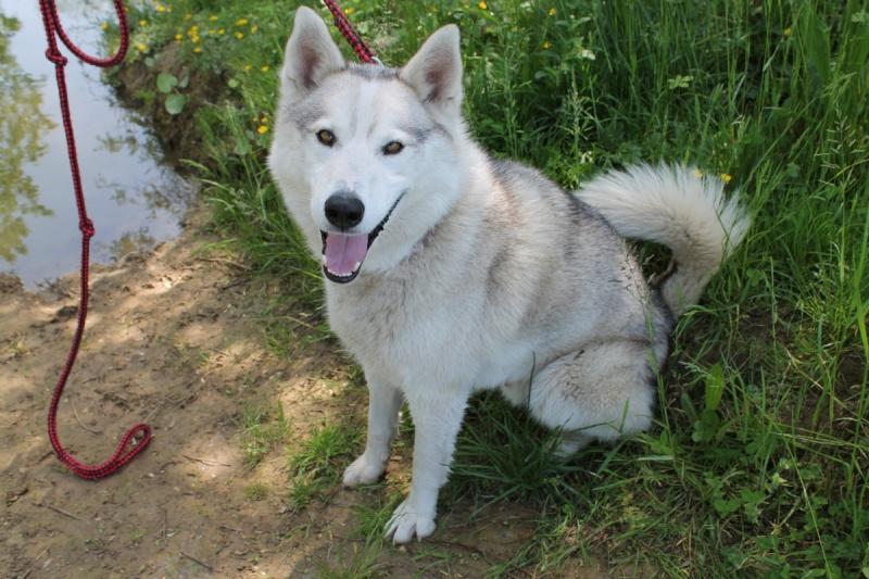 Ixil, Husky sibérien – Né le 26 Avril 2010/ besoin de compagnie REFU39 Adopté Img_5912