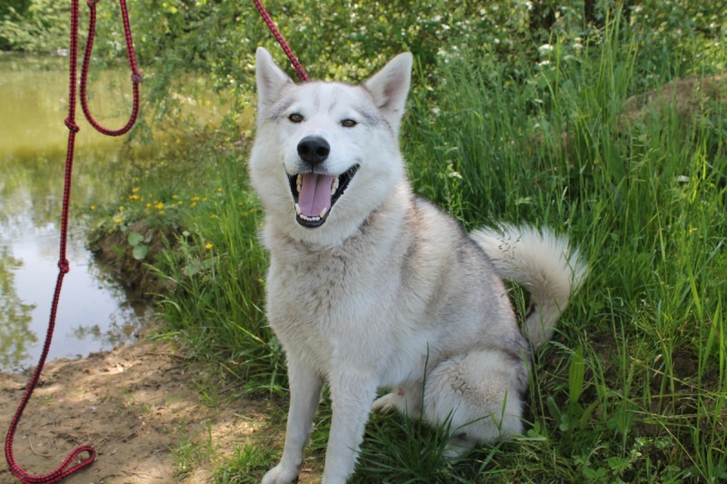 Ixil, Husky sibérien – Né le 26 Avril 2010/ besoin de compagnie REFU39 Adopté Img_6010