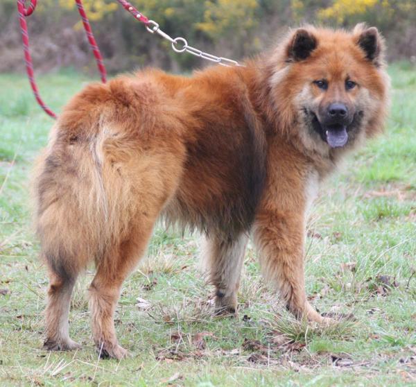 IPSO Eurasier (m) sociable avec les chiens 01/2013 REFU40 ADOPTER Ipso_c10