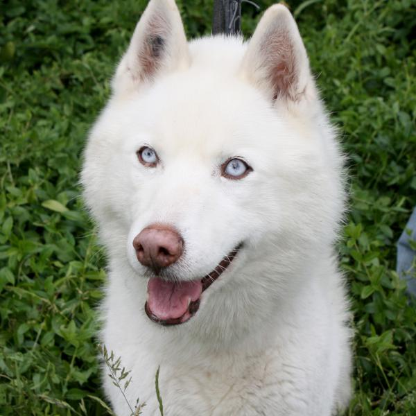 LIUBOV'S  magnifique husky blanc (m) sauvetage 01/2002 REFU92 ADOPTE  Liubov10