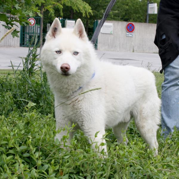 LIUBOV'S  magnifique husky blanc (m) sauvetage 01/2002 REFU92 ADOPTE  Liubov12