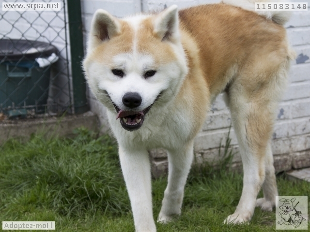 Hatchi Akita inu (m) 2 ANS 7 mois pas d'animaux pas d'enfants REFU BELGIQUE  ADOPTE M-115011