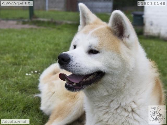 Hatchi Akita inu (m) 2 ANS 7 mois pas d'animaux pas d'enfants REFU BELGIQUE  ADOPTE M-115012