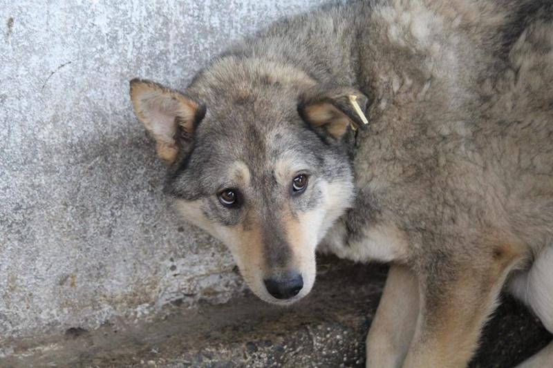Migou, croisé Husky taille moyenne 2/3 ans. Roumanie  Migou110