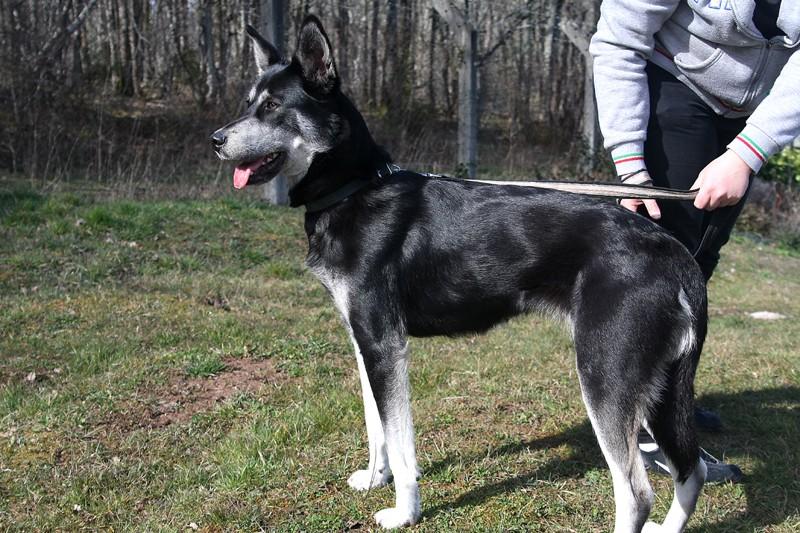 Saba x husky (f) 3 ans noire et blanche REFU19  ADOPTEE Saba-f11