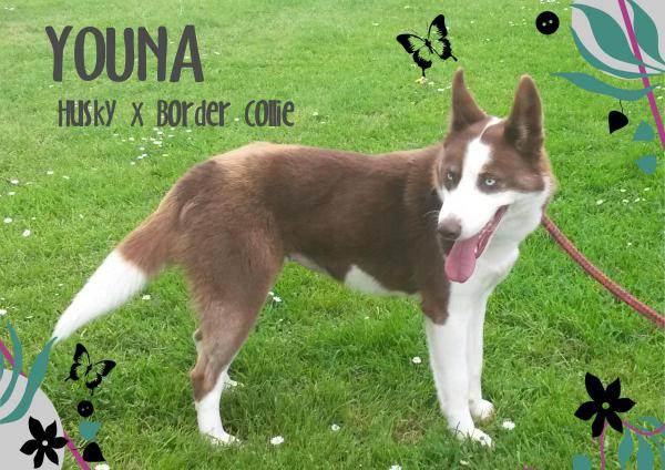 Youna husky x border collie chocolat  (f)10/2013 dynamique REFU50 Adopter Youna10