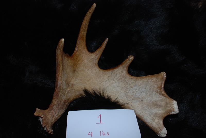 L'élan et les pratiques de chasse  Moose_10