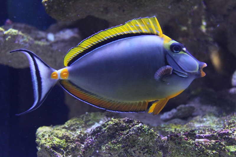 NASO TANG/Lipstick Tang ~ Orangespine Unicornfish Pacific, Orangespine Unicornfish 591_8010