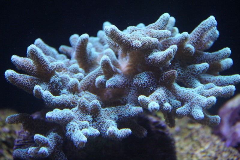 8ft Beast - The Corals 640_8010