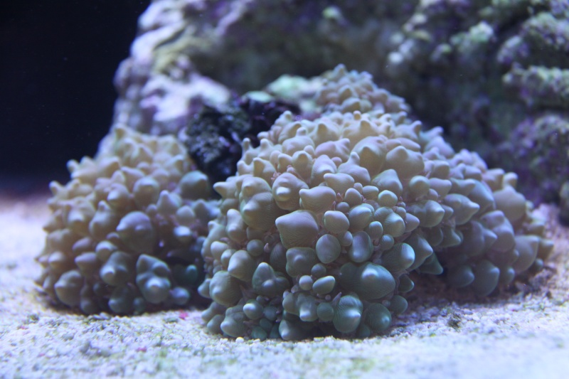 8ft Beast - The Corals 65410