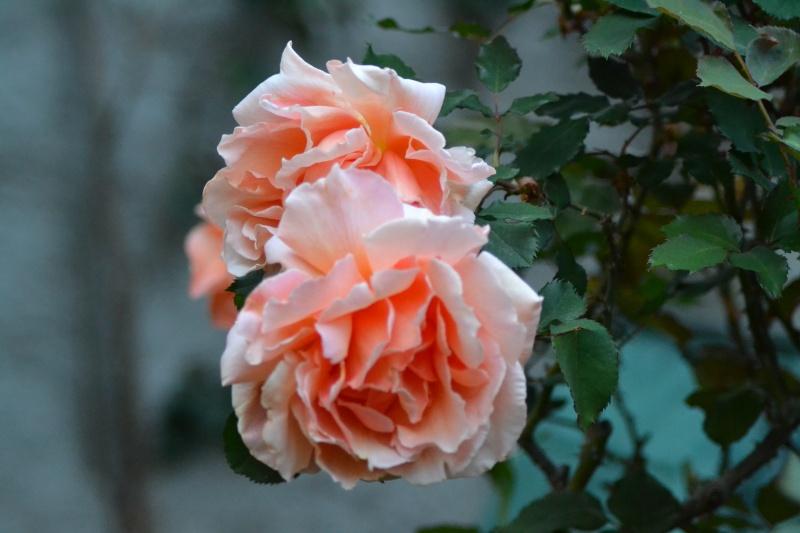 le royaume des rosiers...Vive la Rose ! - Page 13 23_avr10