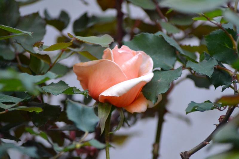 le royaume des rosiers...Vive la Rose ! - Page 13 23_avr11
