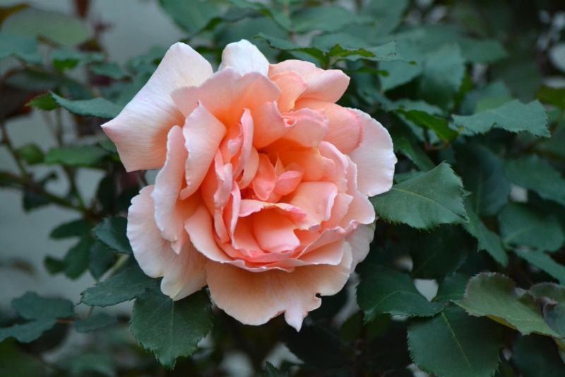 le royaume des rosiers...Vive la Rose ! - Page 13 23_avr12