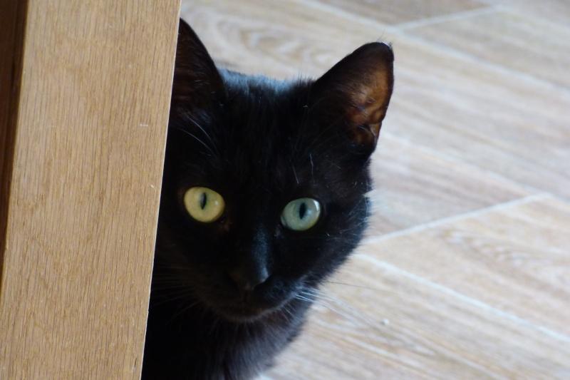 Jenga, femelle type européenne noire estimée née 15/10/2014 P1010010