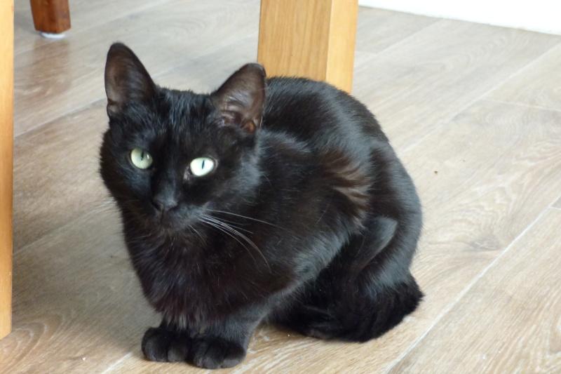 Jenga, femelle type européenne noire estimée née 15/10/2014 P1010013