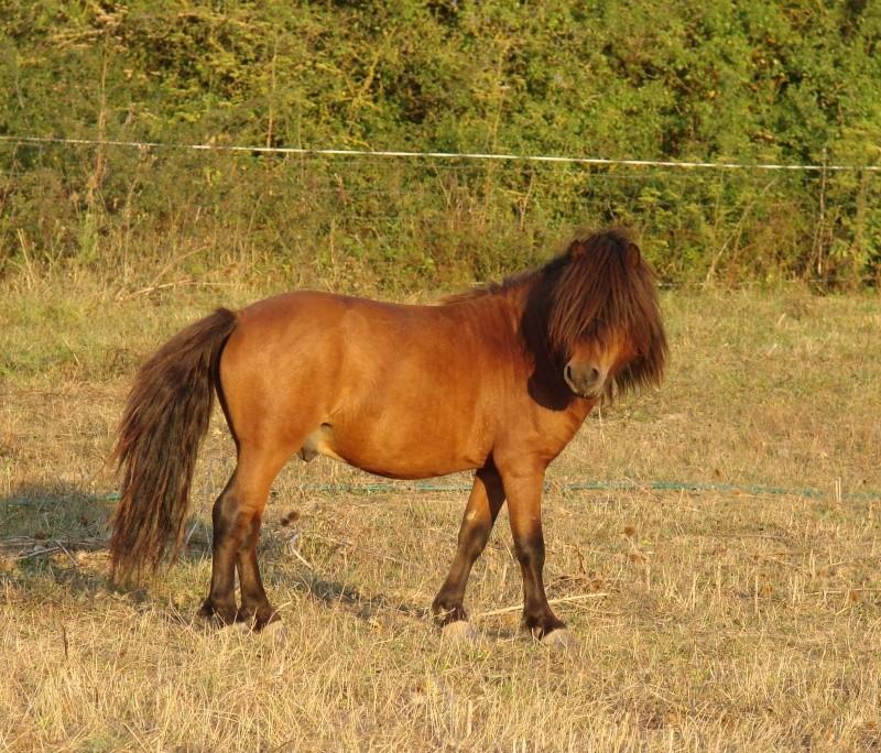 Bonjour:éleveuse de poneys Shetlands et Classics ponys Dsc08710