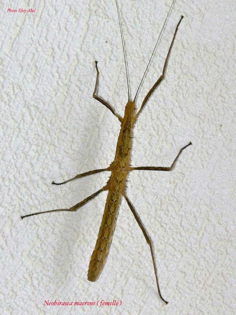 Neohirasea maerens (P.S.G n°173) Neohir10