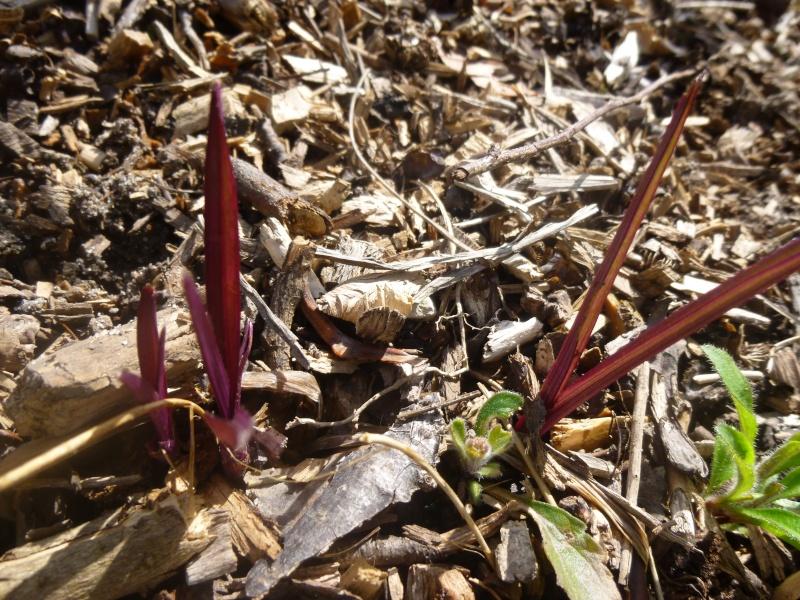 pousse feuilles rouges P1070023