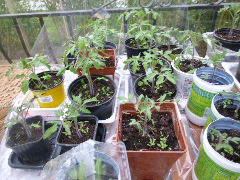semis de tomates - Page 6 P1070210