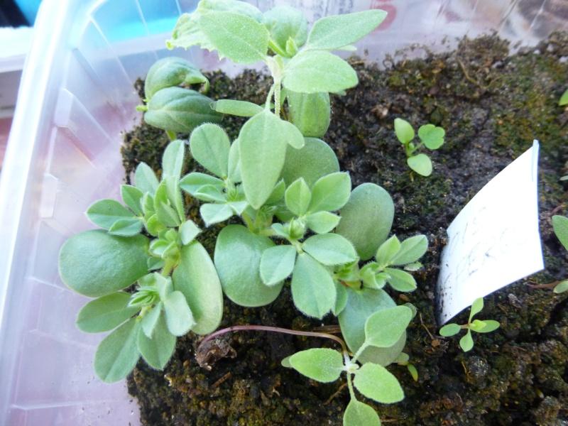 Pois asperge (lotier pourpre)Lotus tetragonolobus P1070237