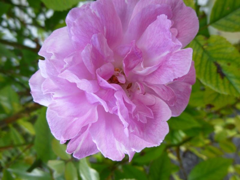 les roses en 2015 P1070241