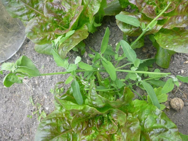 chénopode blanc P1070826