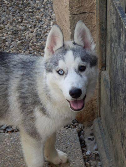 Urgent Jaly femelle Husky 10 mois ASSO Belgique GARDER PAR SES PROPIETAIRES 10628010