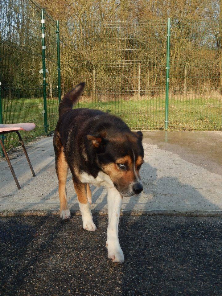 TAZ, husky x Berger, né le 16 mai 2008  besoin de stabilité: REFU91 - Page 3 11102710