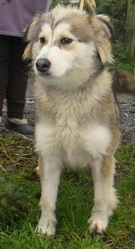 Laika, jolie coisée Husky 2 ans (f) REFU Belgique 11147010