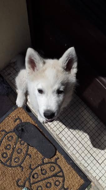 Husky 3 mois ASSO33 ADOPTE 11149310