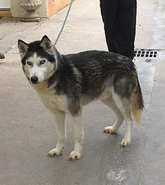 Vérone, Husky mâle  19.09.2004 ok enfants chiens chats a tester REFU76 ADOPTE Box_8910