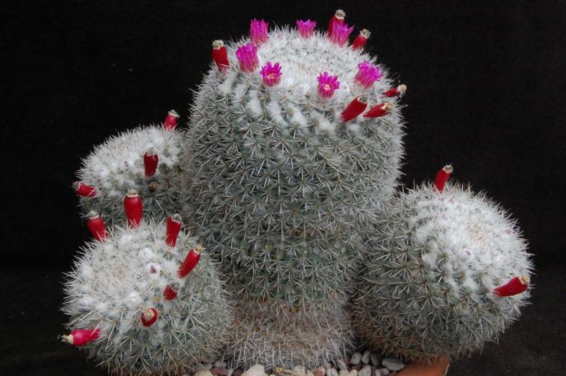 Mammillaria cadereytensis -2015021