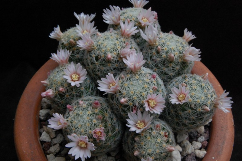 Mammillaria schiedeana 2281-210