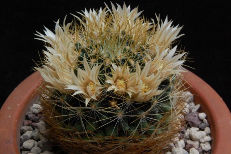 Mammillaria aurisaeta       2446-211