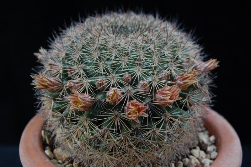 Mammillaria pachycylindrica 2484-210