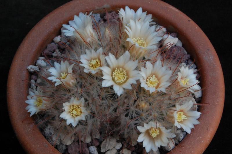 Mammillaria pennispinosa 4110-210