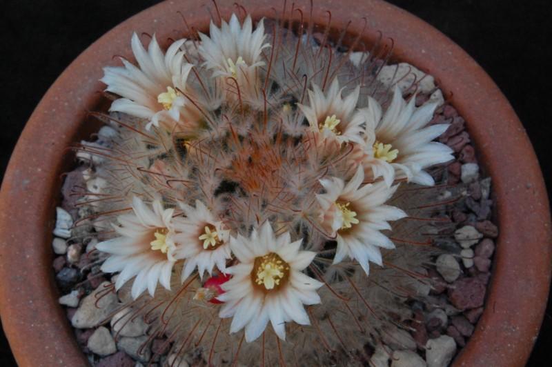 Mammillaria pennispinosa 4113-210