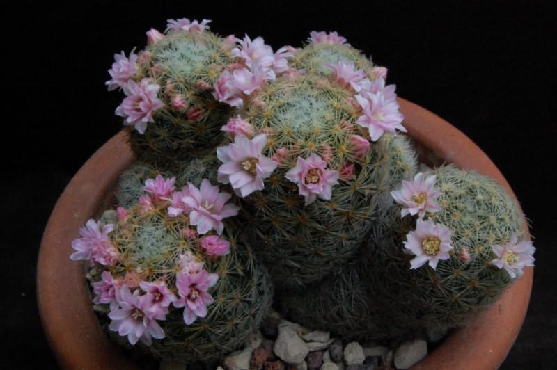 Mammillaria schiedeana 5174-210