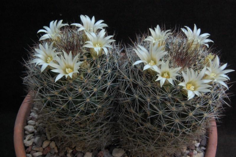 Mammillaria picta 6084-210